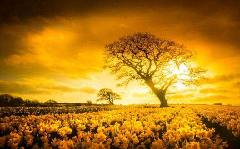 Daffodils, North Wales